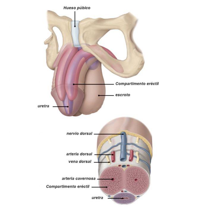 síndrome metabólico disfunción eréctil